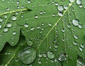 RainyLeaf350